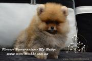 Шикарнейшие мини-щенки карликового померанского шпица SHOW!!!