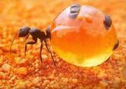 Борьба. Уничтожение муравьев в Алматы и Алматинской области