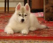 Продаются щенки сибирских хаски!