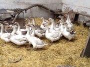 Выращивание гусят линда в домашних условиях 563