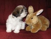 продам щенков ши- тсу от чемпиона Азии