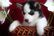 очаровательны Сибирский хаски щенки для продажи