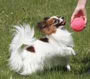 Щенки папийона - собака бабочка,  той спаниель,  компаньон