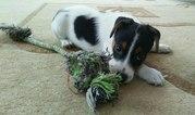 Продам щенка Джек Рассела.