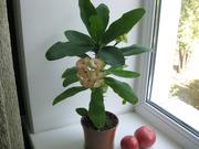 Растение для души и настроения молочай Миля,  детка - 700.
