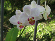 Орхидея - фаленопсис продается вместе с вазой.